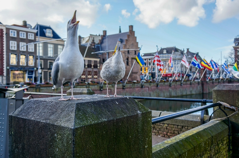 The Hague Seagulls